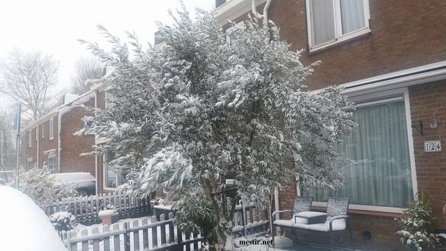 Mon Olivier sous la neige 25073010