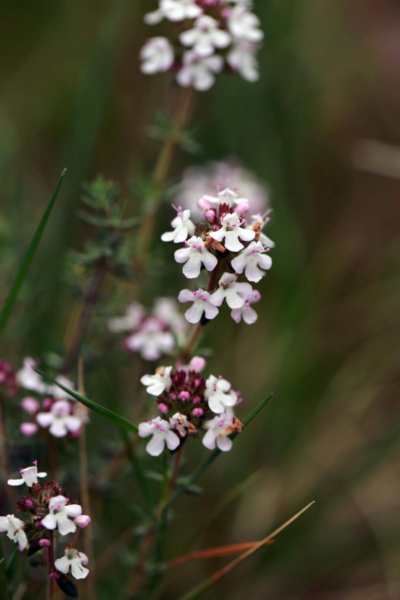 Fleur de raiponsaire  Isa_0015