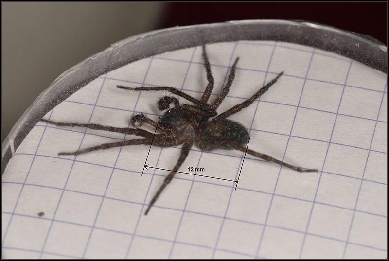 Amaurobidae [Amaurobius ferox] Amauro10