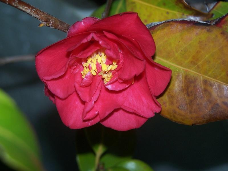 Camellia 2018 100_1810