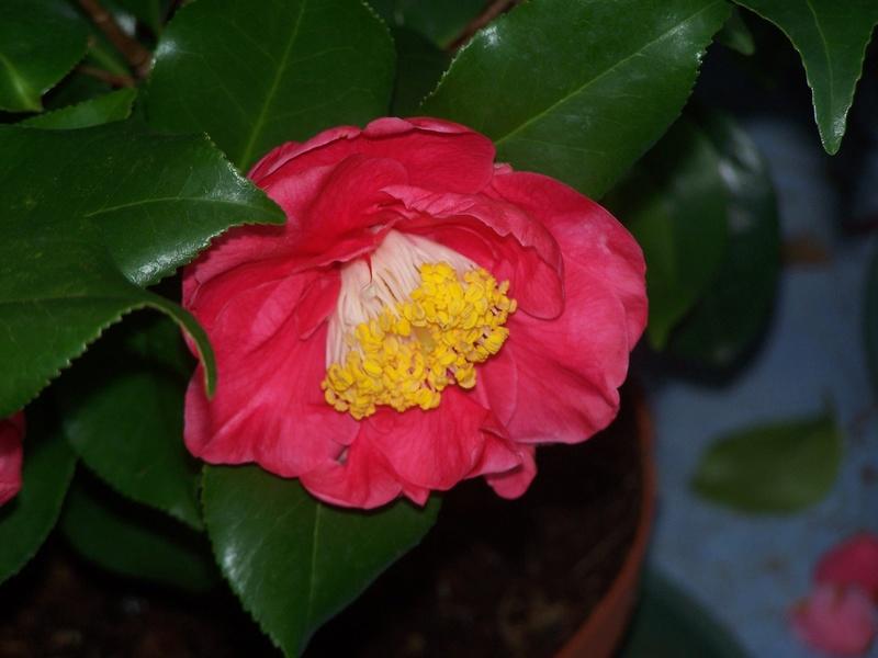 Camellia 2018 100_1811