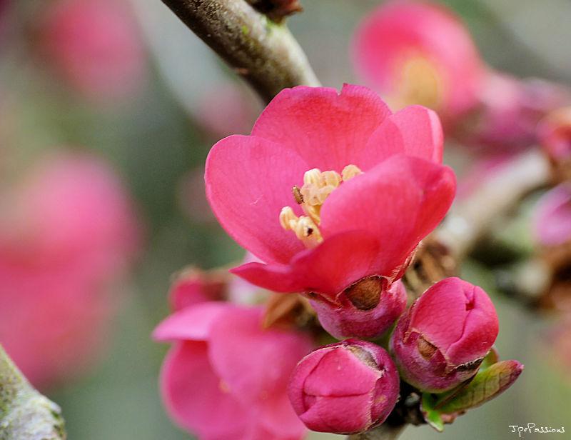 Floraison printanière P1010815