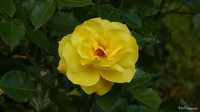 Quelques fleurs du jardin P1280513