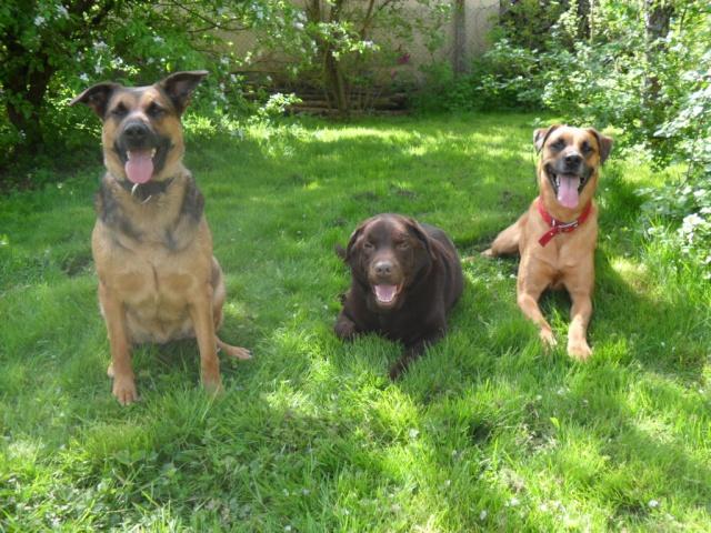 Winnie l'ourson un beau labrador chocolat.... Sam_0410