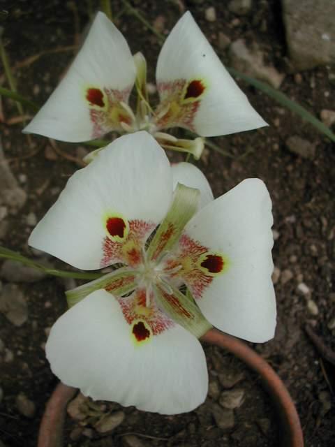 Calochortus venustus Caloch10