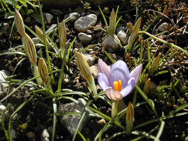 Crocus printemps 2009 Crocus14