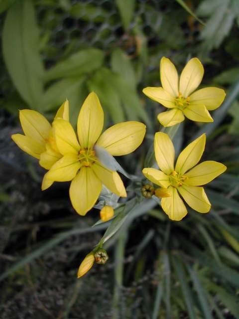 Sisyrinchium montanum ssp. montanum Dscn2010