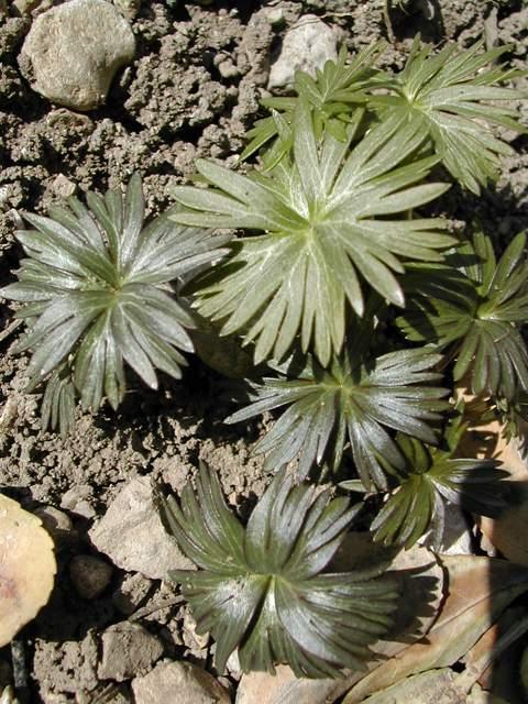 Eranthis pinnatifida Dscn3110