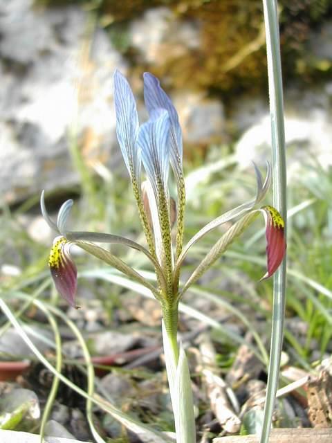 Iris réticulés 2011 Dscn4212