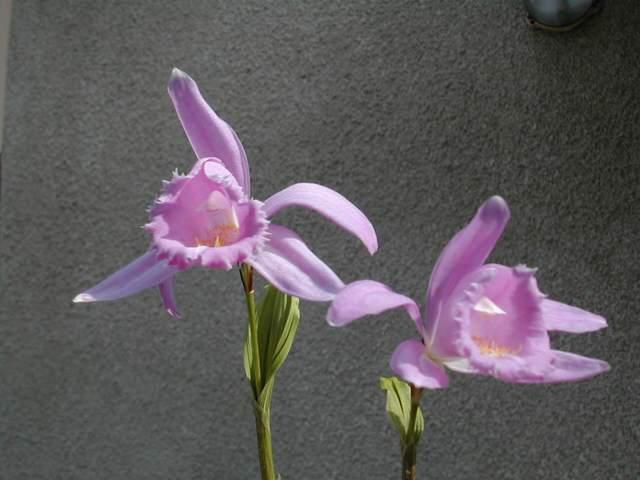 Pleione en fleur actuellement Pleion12