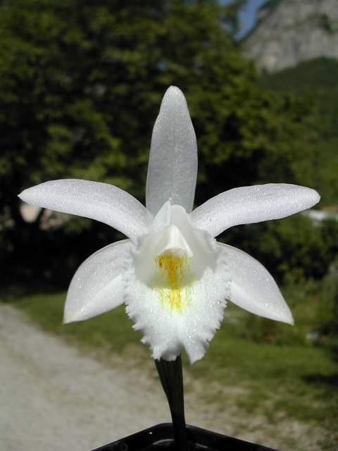 Pleione en fleur actuellement Pleion13