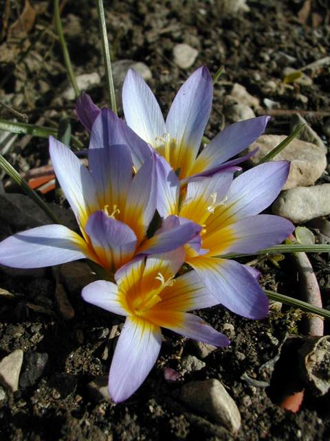 Une romulée à Floraison hivernale, du Maroc - Page 2 Romule15