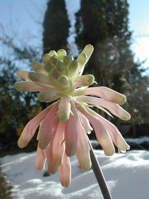 Veltheimia bracteata Veilth10