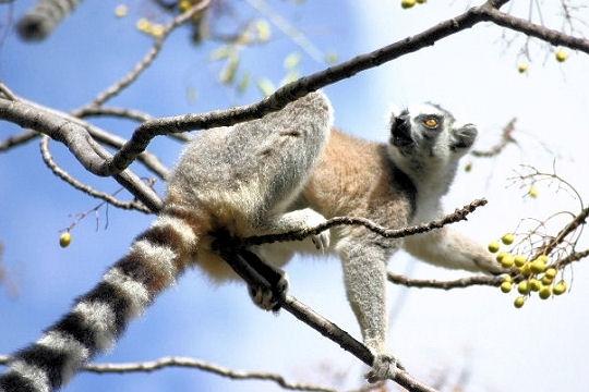 Les 100 plus belles photos animalières de l'année Lemuri10