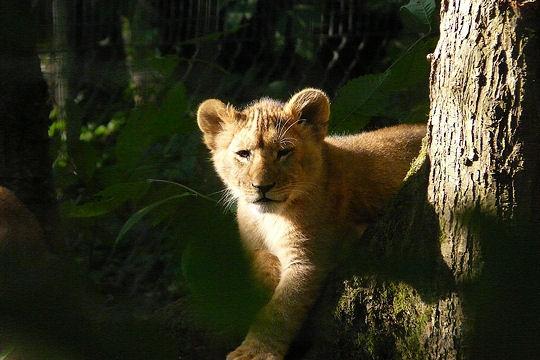 Les 100 plus belles photos animalières de l'année Lionce10