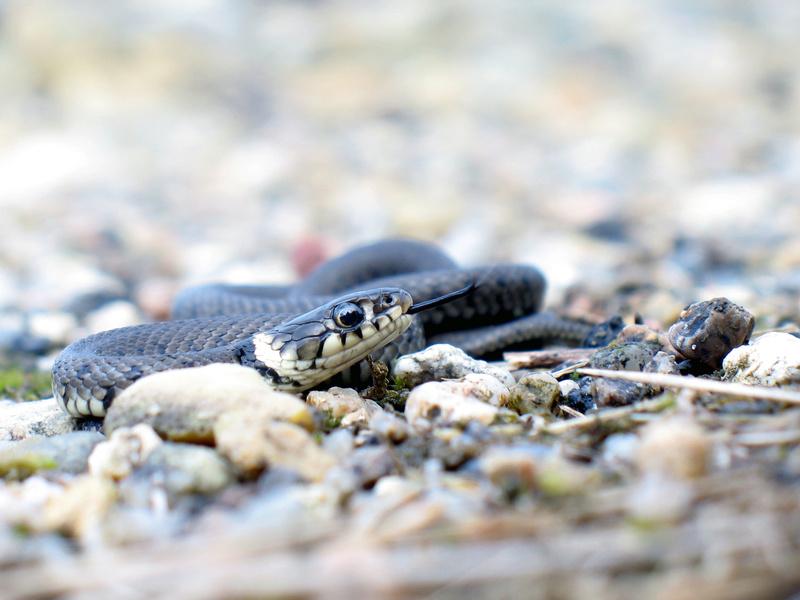 Quelques photos de couleuvre à collier (Natrix natrix) Img_6211