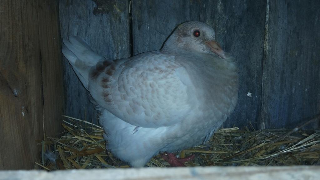Avis pigeon Texan 2018-047
