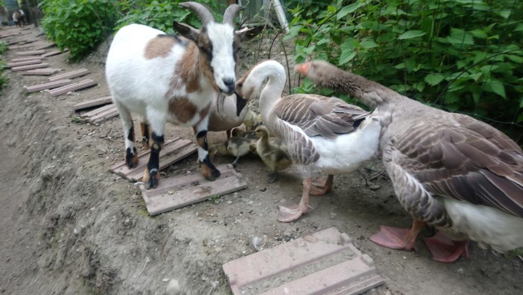 première ponte de mon oie de guinée 2019-026