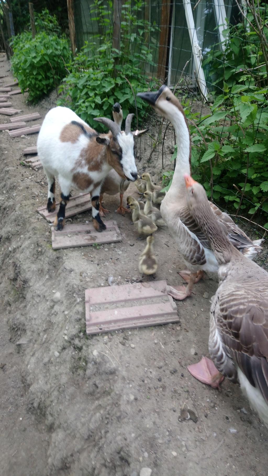 première ponte de mon oie de guinée 2019-027