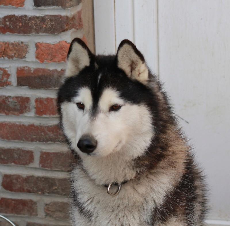 BALTO, Husky sibérien né le 10.11.2014, PART 80 Img_4910