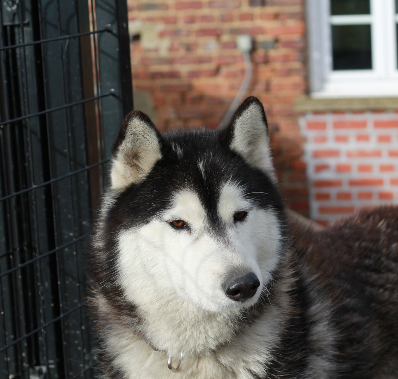 BALTO, Husky sibérien né le 10.11.2014, PART 80 Img_4912