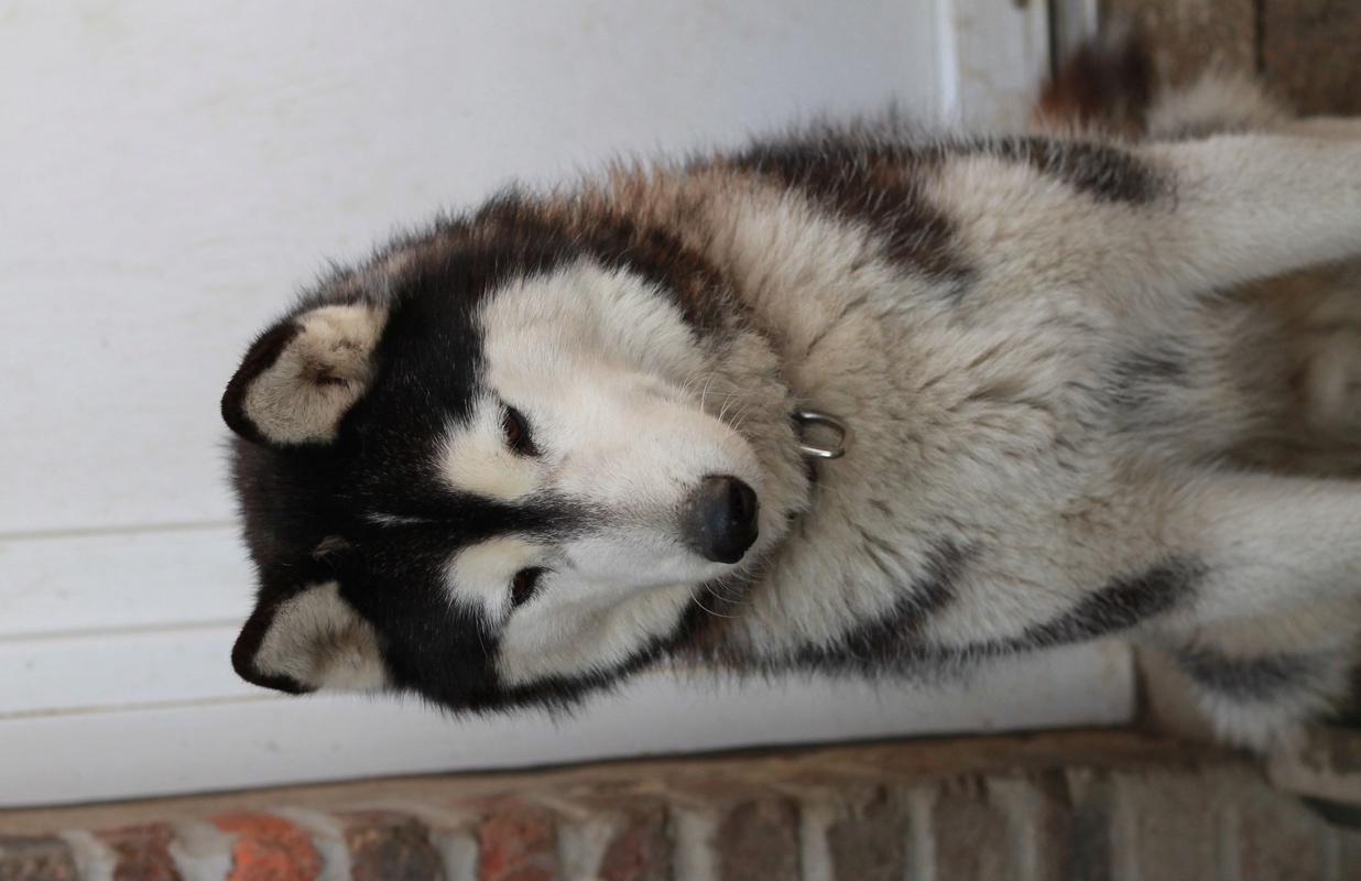 BALTO, Husky sibérien né le 10.11.2014, PART 80 Img_4913