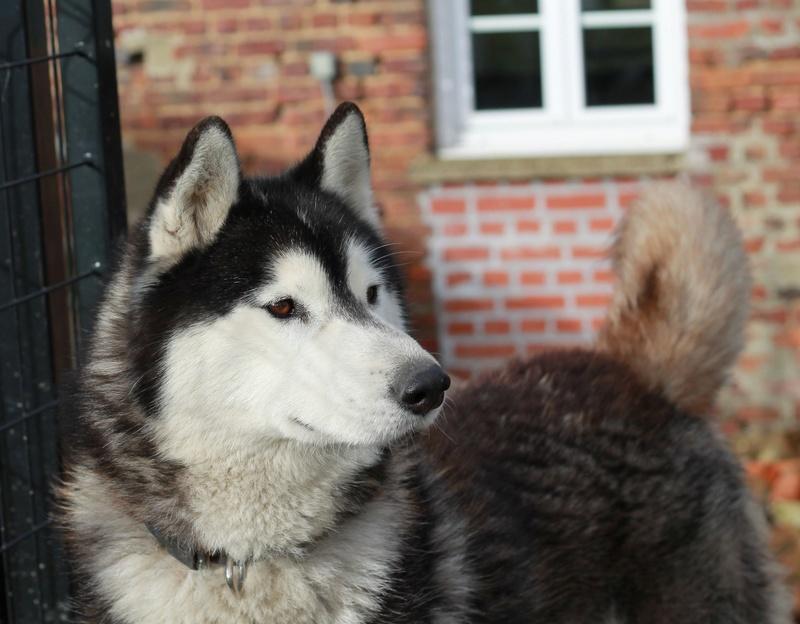 BALTO, Husky sibérien né le 10.11.2014, PART 80 Img_4914
