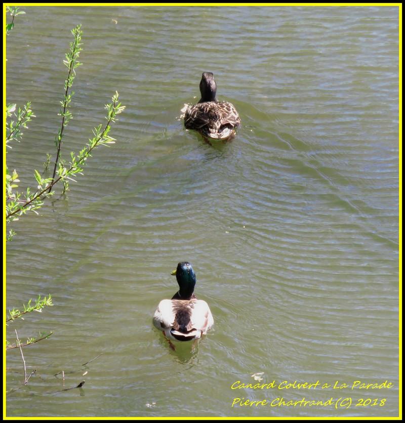 Aujourd'hui a Anjou on The Lake . Canard22