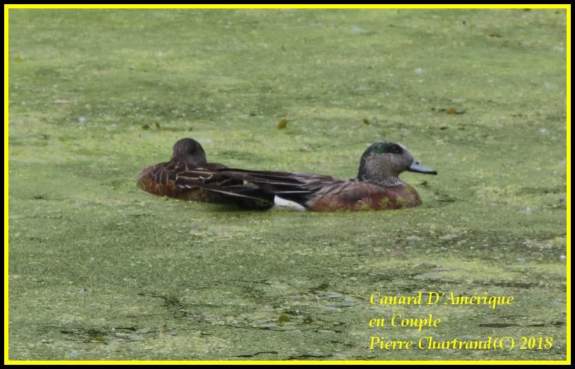 Ce Midi Parc Nature Pointe Aux Prairies Canard38