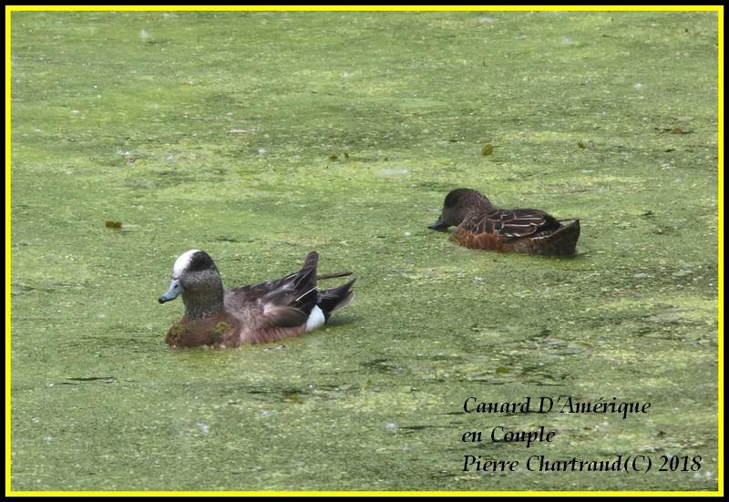 Ce Midi Parc Nature Pointe Aux Prairies Canard39
