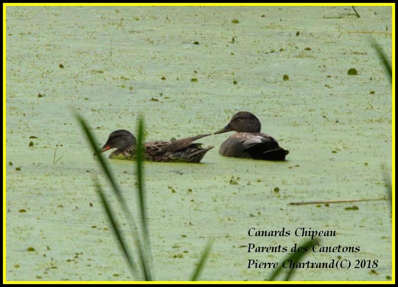 Ce Midi Parc Nature Pointe Aux Prairies Canard41
