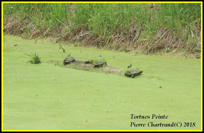 Ce Midi Parc Nature Pointe Aux Prairies Tortue12