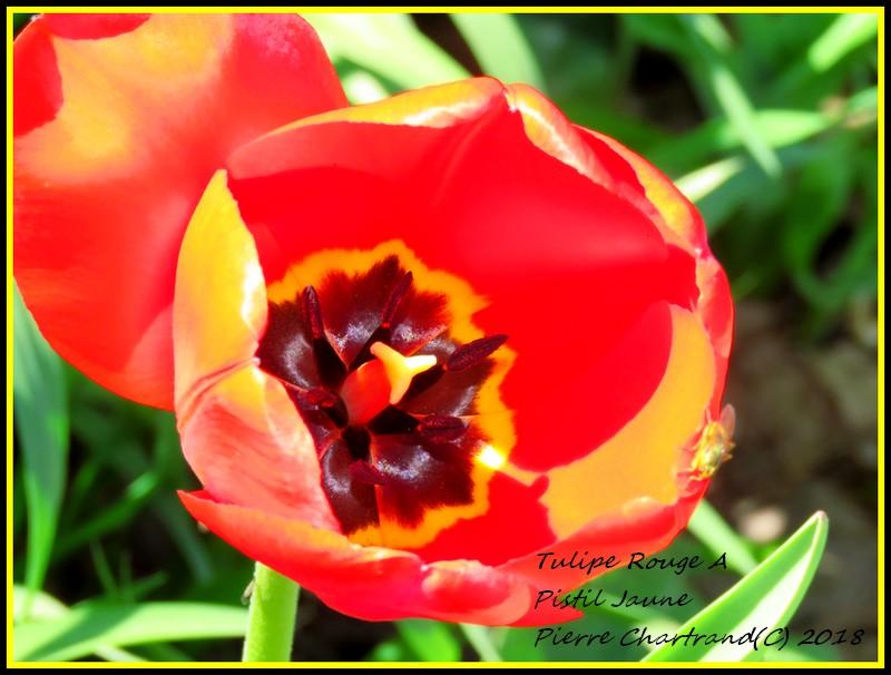 Au parc Bellerive   Tulipe10