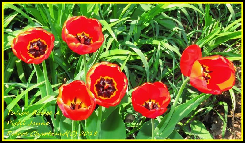 Au parc Bellerive   Tulipe11