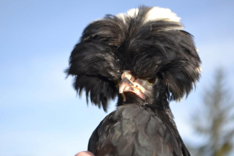 sexage poule hollandaise huppée 05310