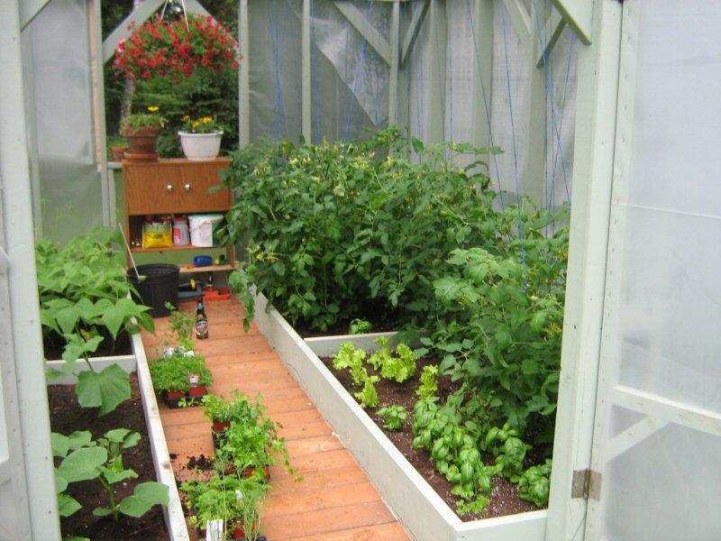 Plants de tomates Sere10