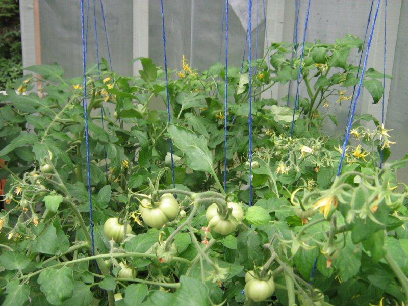 Plants de tomates Tomate10