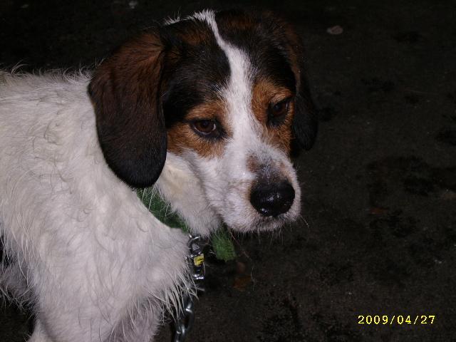 ADHOC, croisé beagle/griffon mâle, 5 ans 1/2 (56) Avr09_20