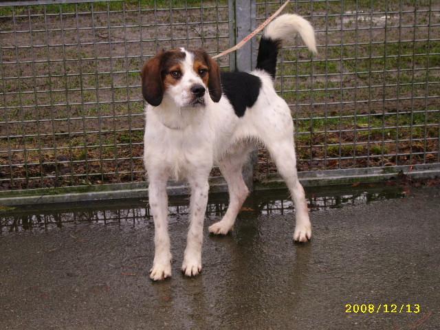 ADHOC, croisé beagle/griffon mâle, 5 ans 1/2 (56) Dec08_40