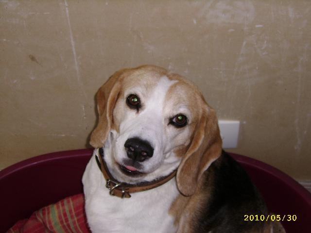 RAFIA, très jolie beagle femelle adulte, 10 ans (61) Mai_1013