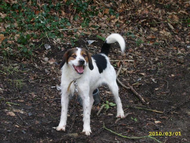 ADHOC, croisé beagle/griffon mâle, 5 ans 1/2 (56) Pdp_0020