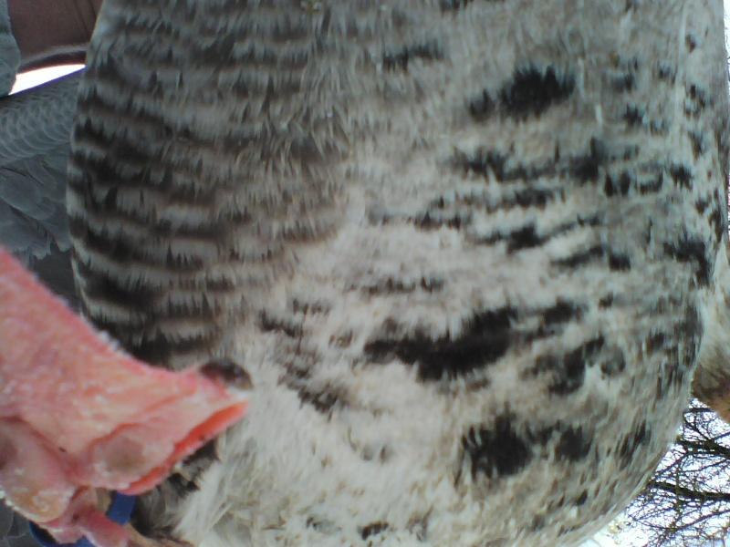 oie cendrée Imag4510
