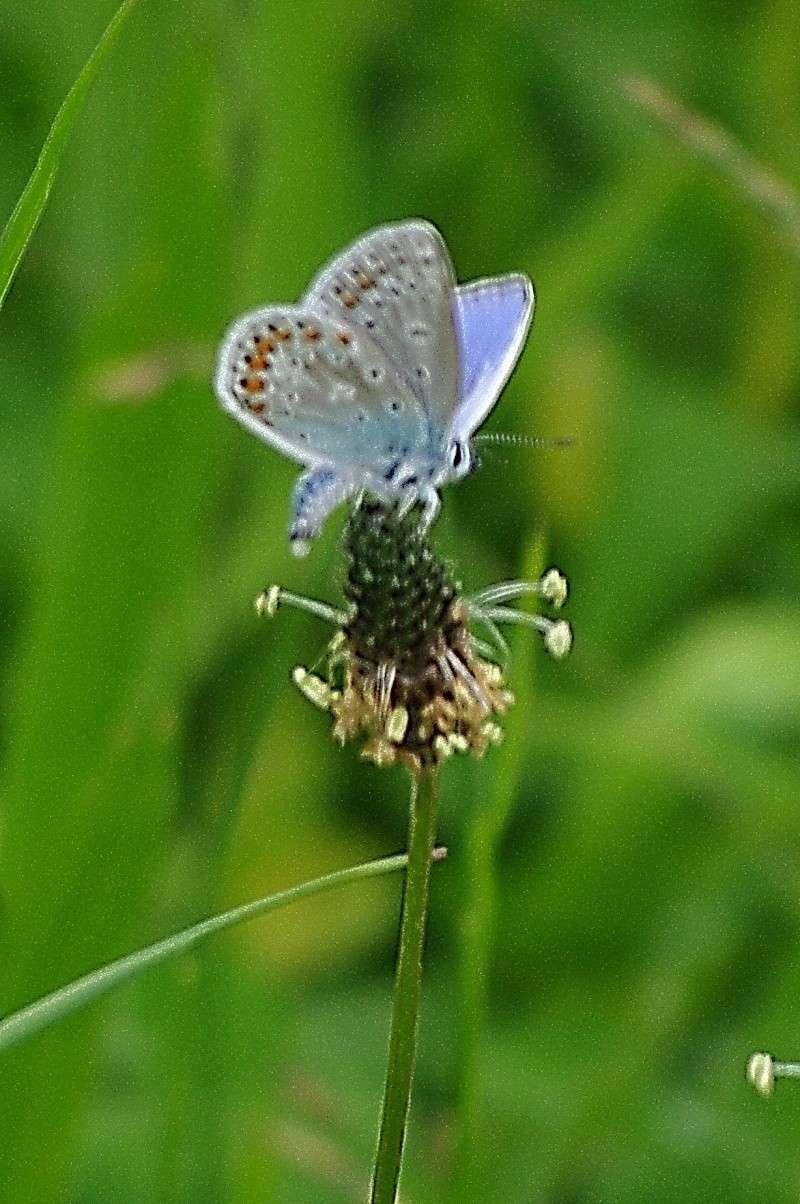 [Polyommatus icarus] - Azuré commun Imgp3111