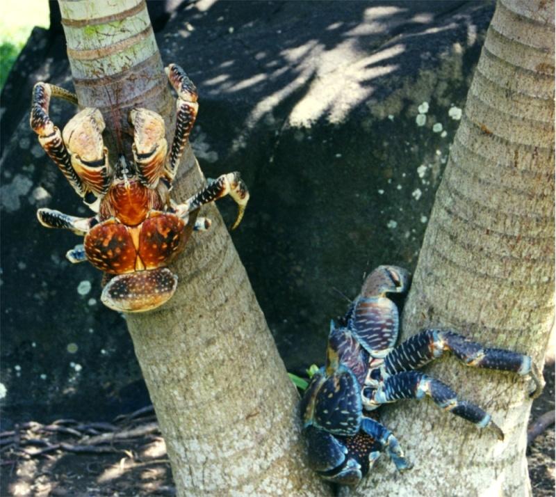 Crabe géant des cocotiers, assez impressionnant. Birgus10