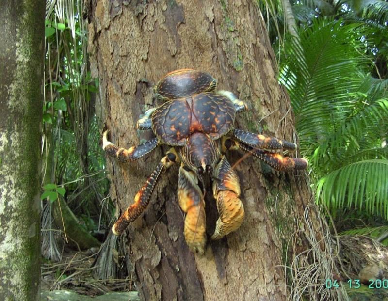 Crabe géant des cocotiers, assez impressionnant. Crabe-10