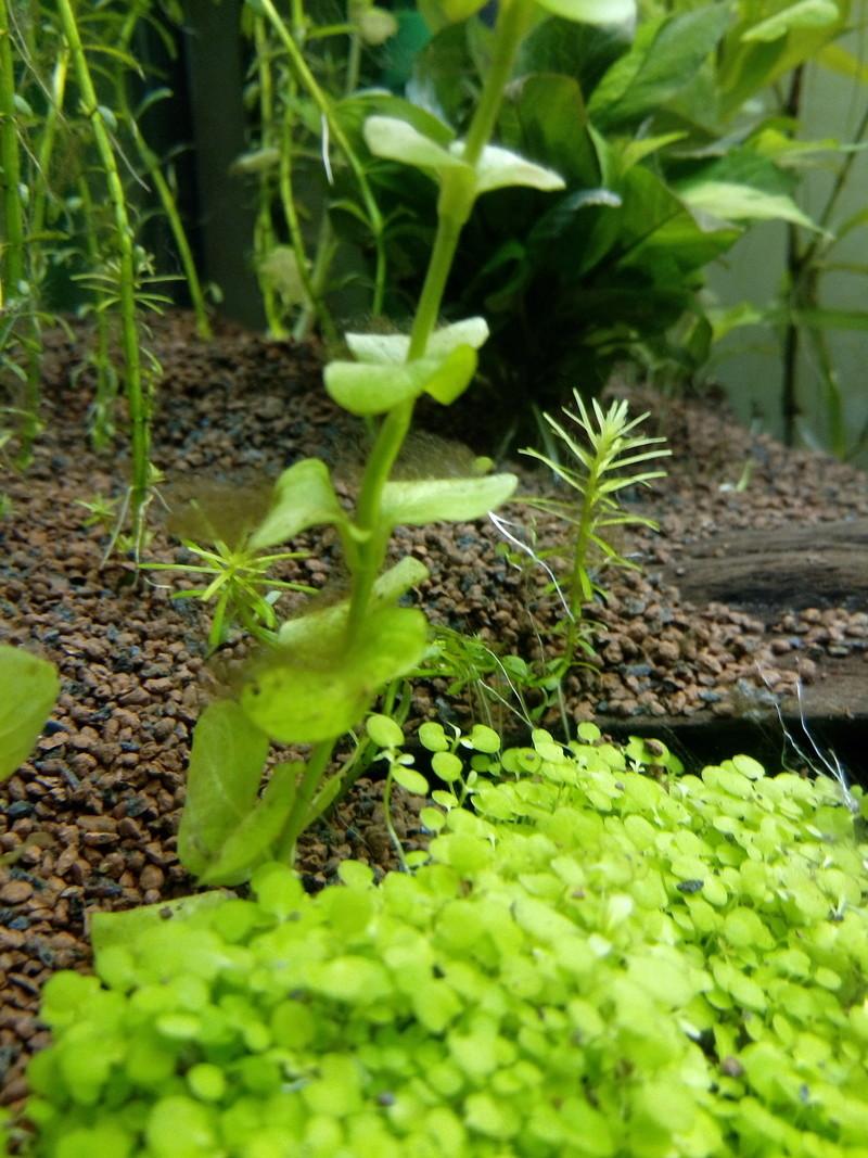 Algues brunes Img_2020