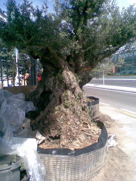 un yamadori d'olivier Photo110