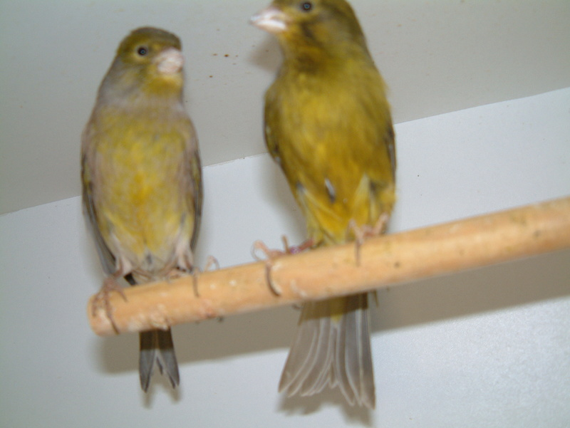 Aide en ce qui concerne la race de ce canari Couple10