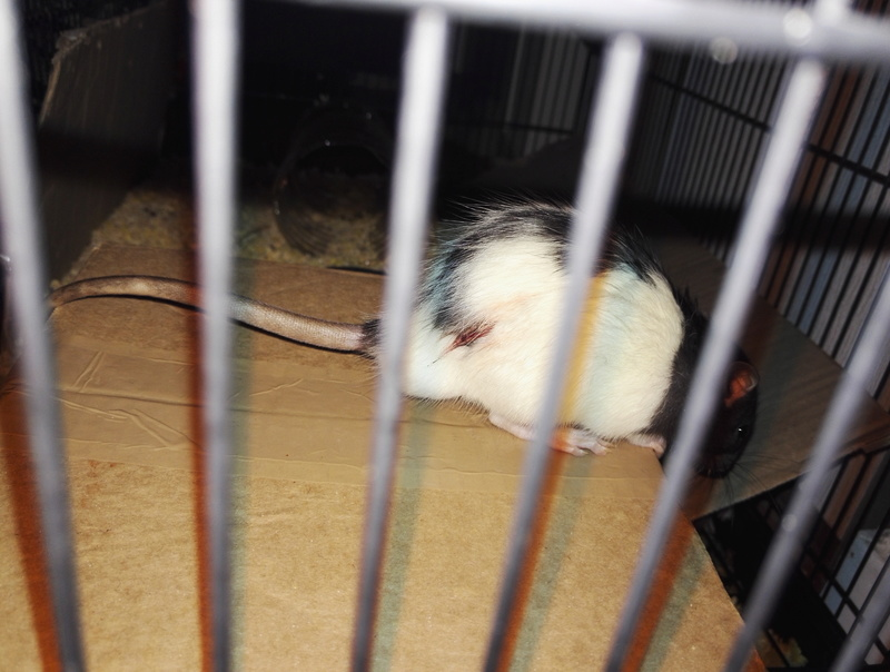 Rat après bagarre (sang) couine Img_2010