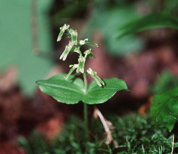 Hybrides entre genres différents chez les Neottieae ? Auricu10